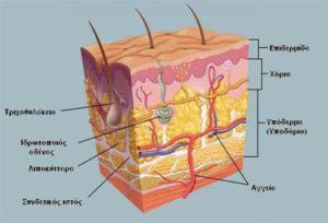 ανατομία δέρματος